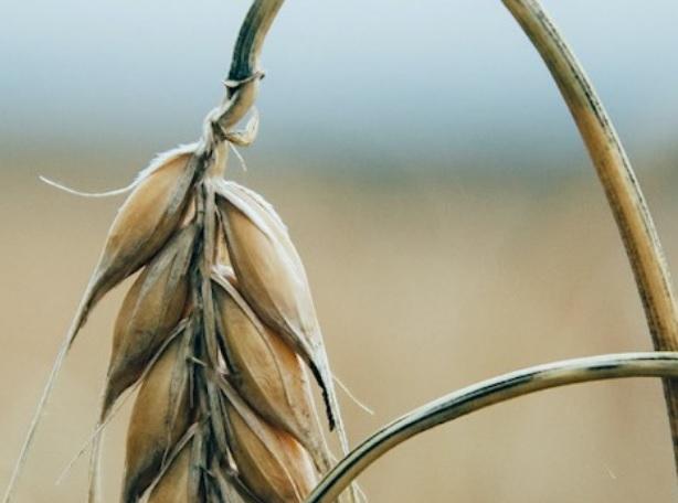 ¿Pueden los cultivos ser más eficientes?