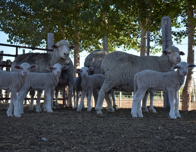 Argentina. Nacieron los primeros corderos patagónicos tras optimizar tecnología in vitro