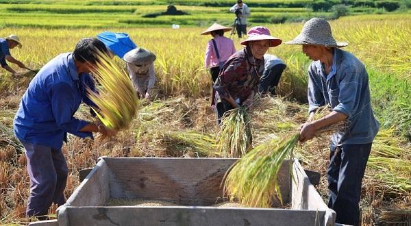 Por altos precios del maíz, China libera reservas de arroz para alimentar animales