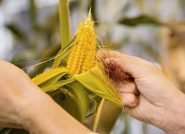 Nuevas semillas de maíz Basf: alto rendimiento y estabilidad