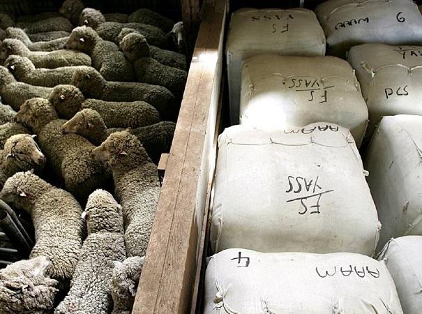 Mercado australiano con fuerte suba en las lanas Merino