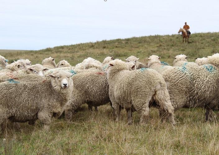 Valorización de lanas medias: ¿por qué los productores hacen lo que hacen?