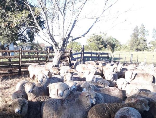 Productores de Artigas recibieron 325 ovinos en una iniciativa interinstitucional