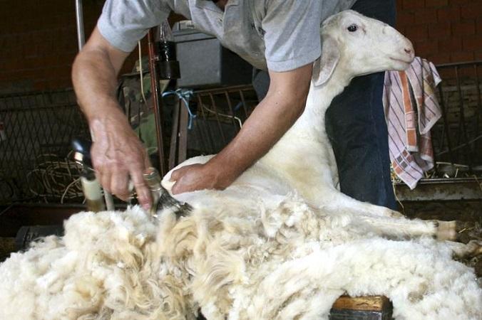 Los negocios en el mercado local se concentran en lanas finas