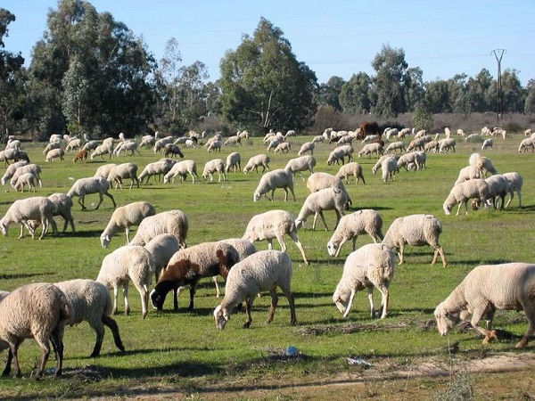 En los últimos 12 meses las exportaciones ovinas fueron por U$S 218,5 millones