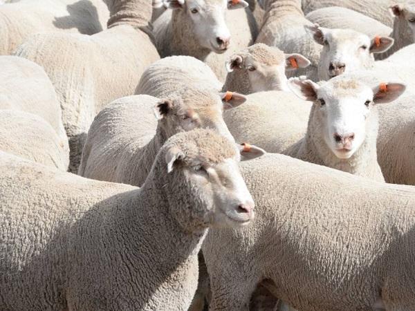 Con la demanda de EE.UU. y China, se recuperan las exportaciones australianas de cordero