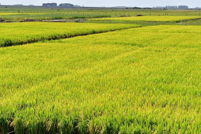 El arroz uruguayo marcó récord en pandemia y mira los mercados internacionales, sin resignar la calidad en la venta local