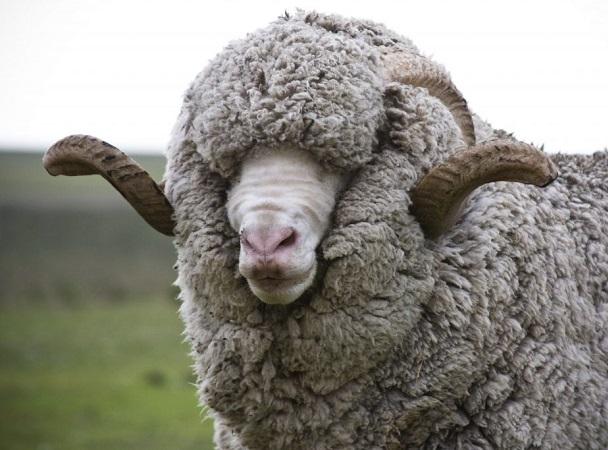 SUL: mayor demanda por lanas por debajo de las 21 micras