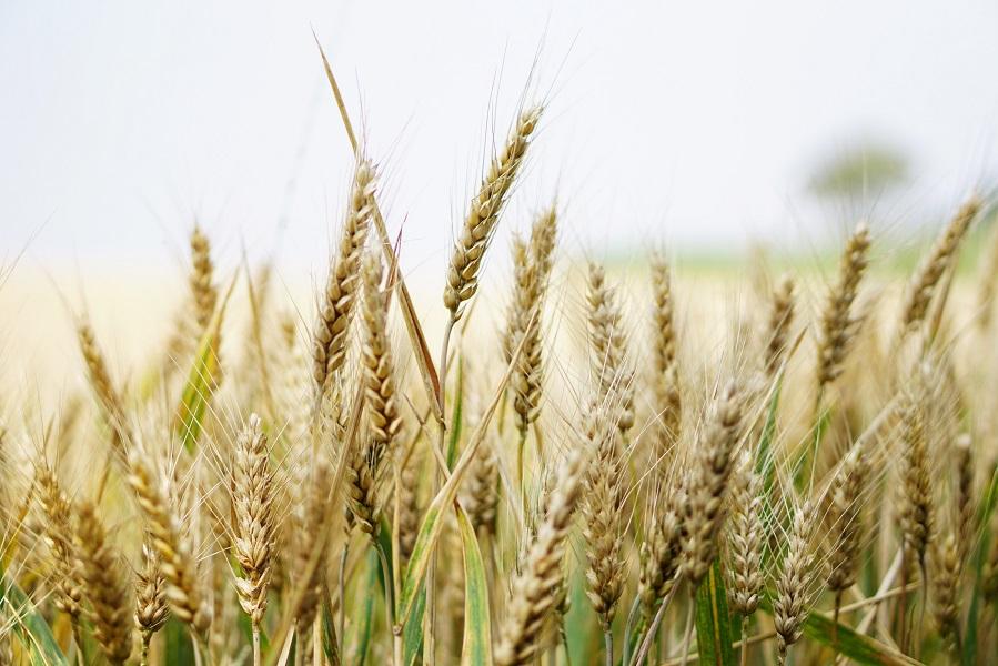 Mercado de granos: el trigo brilla