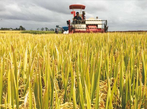 Científicos investigan por qué el calor de la noche afecta el rendimiento del arroz