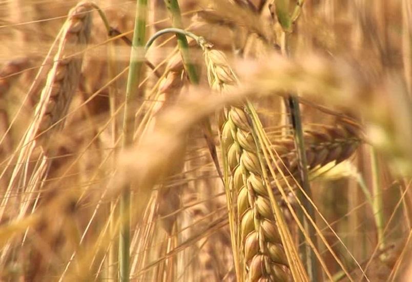 El trigo argentino va por los 20,5 millones de toneladas