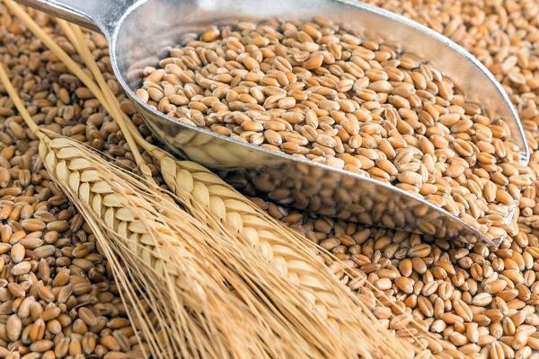 El trigo se corta solo