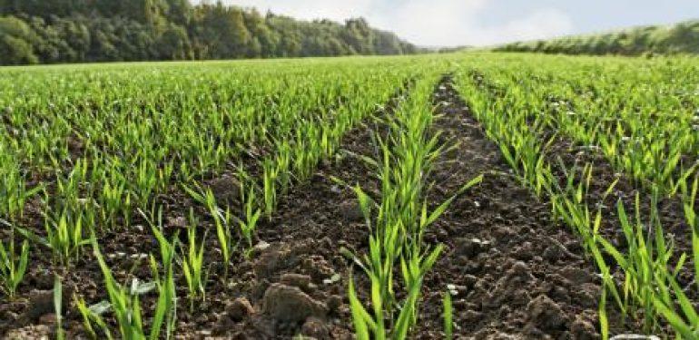 El trigo cerró su mejor semana de los últimos 6 años