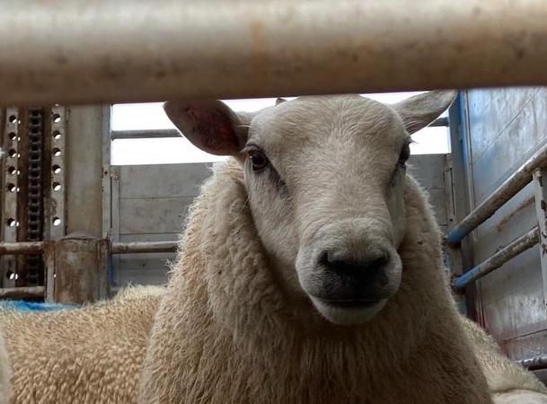 La ovinocultura paraguaya no se detiene y apunta a mejorar su genética