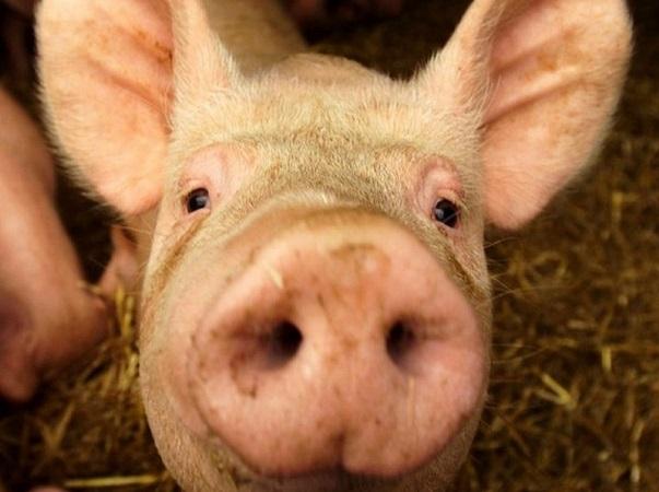 USDA confirmó la presencia de peste porcina africana en el continente americano