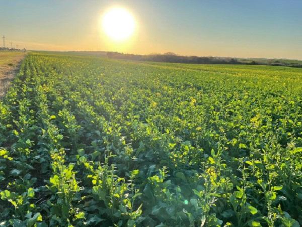 Llega el fin de la zafra de cultivos con la cosecha de maíz