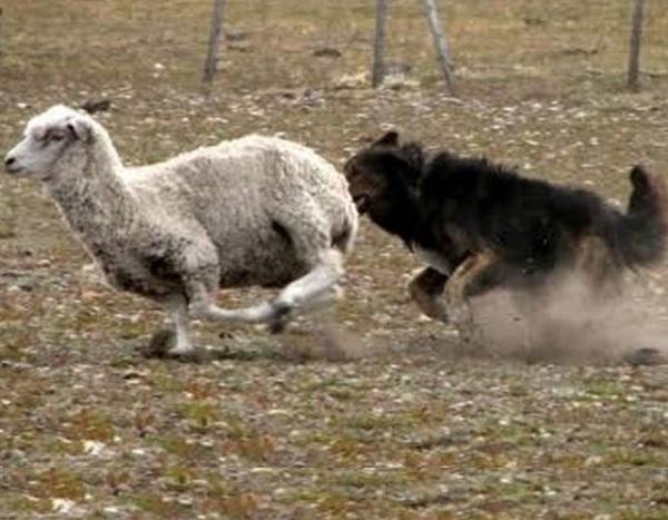 Denuncian vínculos entre el abigeato y sueltas de perros para matar ovejas