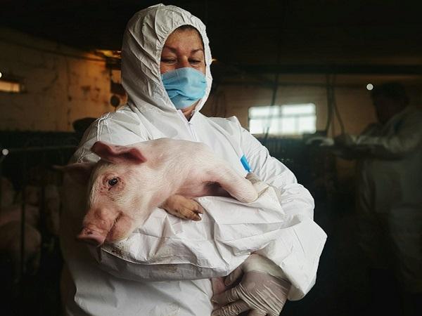 """OIE: Hay que """"actuar con urgencia para frenar la peste porcina africana en las Américas"""""""