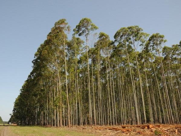 El 54% de la producción forestal no tiene como destino las plantas de celulosa
