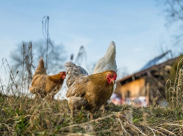 Primer curso de operador cuidador avícola