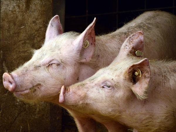 Plantas de faena europeas pierden autorización para exportar cerdo a China