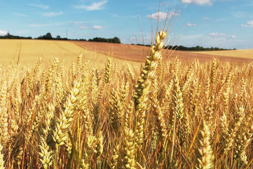 Sigue aflojando el trigo